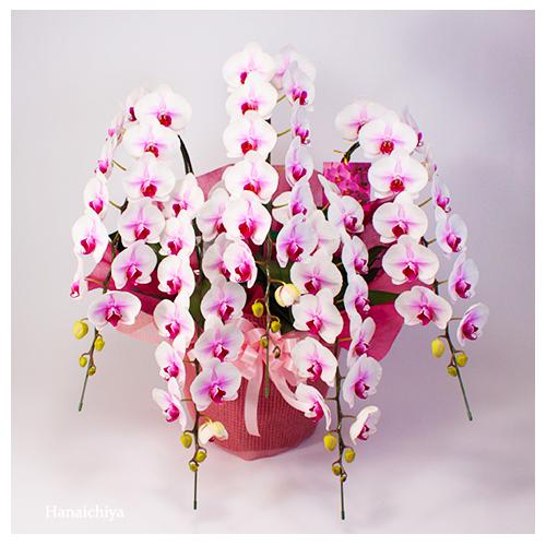ピンク系の胡蝶蘭(つぼみを含み70輪程度)