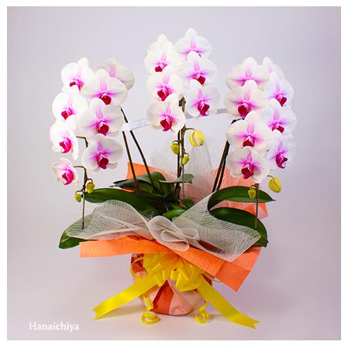淡いピンク系の胡蝶蘭(小輪タイプ)