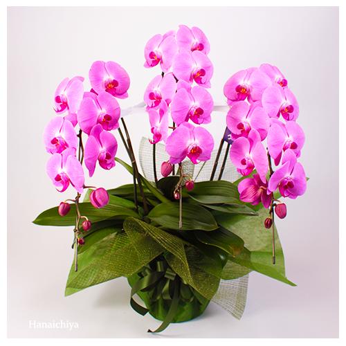 ピンク系の胡蝶蘭(つぼみを含み33輪程度)